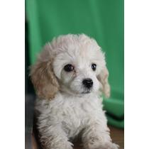 Cachorros De Caniche De Juguete Para Adopción.